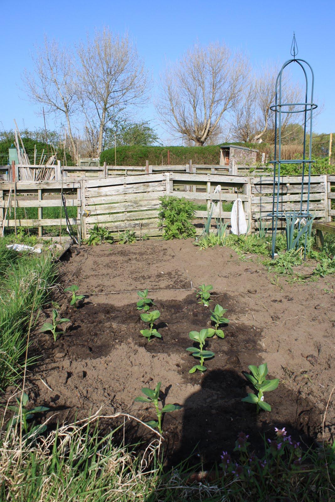 broad bean planting instructions