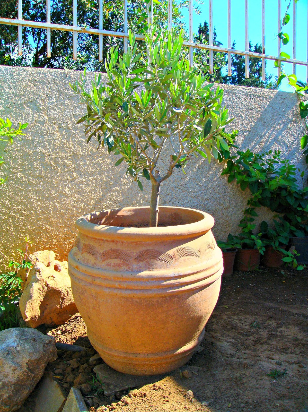 Greeker than the greeks good morning greece for Pruning olive trees in pots