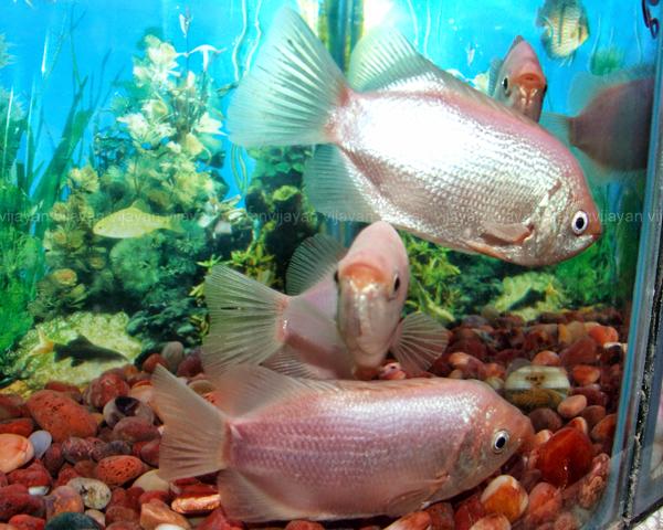 Labyrinth fish aquarium info for Kissing gourami fish