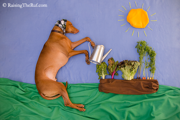 Earth Day Pharaoh Hound dog waters plants