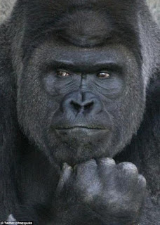 This giant male gorilla is certainly a hit to the ladies