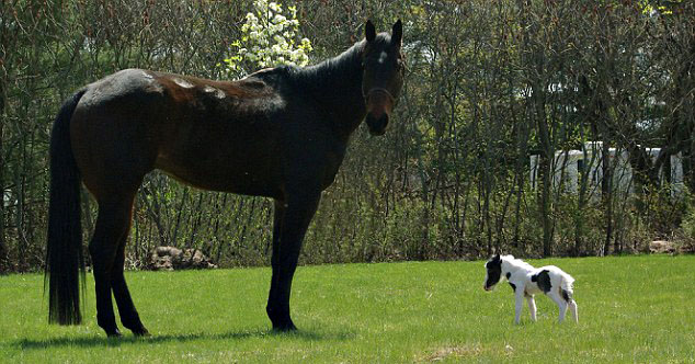 The smallest horse in the world ever - photo#18