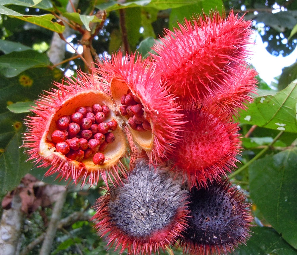 Achiote seeds in their pods. Image borrowed from Amazon Ecology