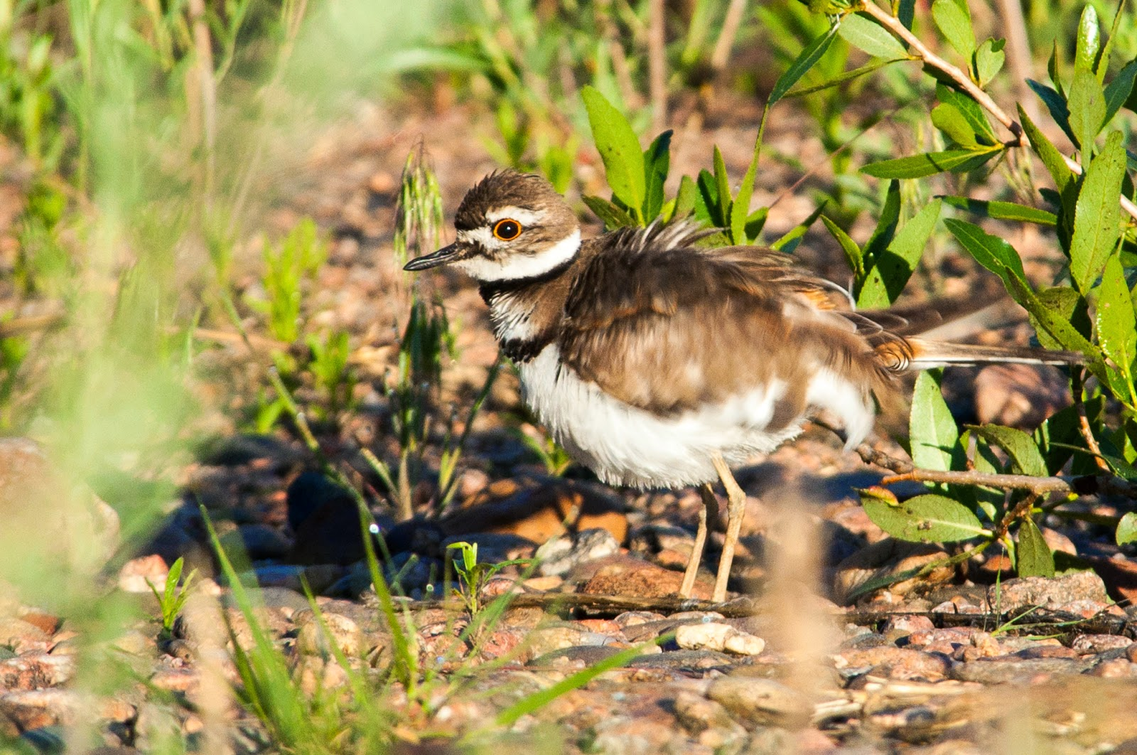 South Platte Park Killdeer