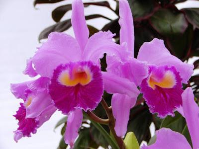 Orquídeas Lindas