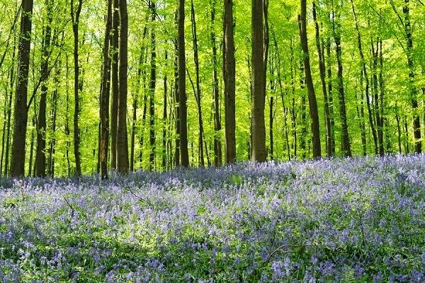 Gambar Hutan Biru Belgia Fenomena Alam Aneh Bin Ajaib