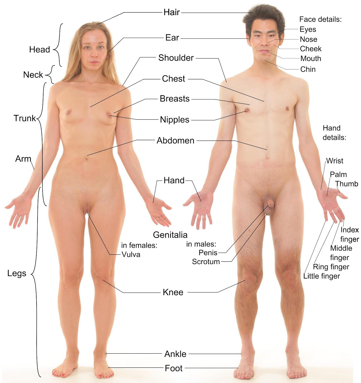 Уроки по изучению женских и мужских гениталий студентами с наглядным пособием фото 10 фотография