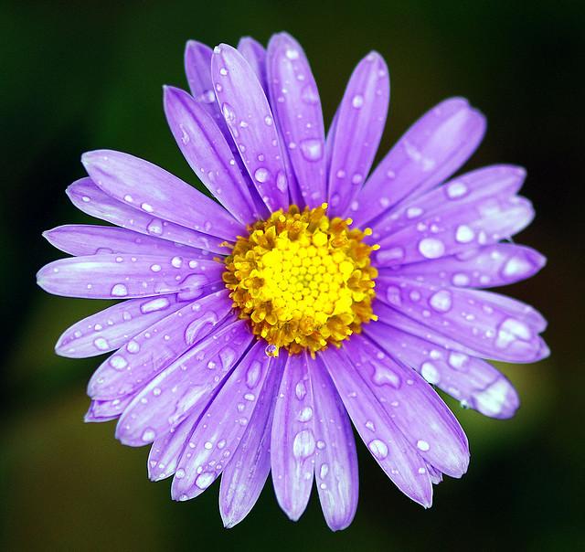 Gli aster o settembrini - Settembrini fiori ...