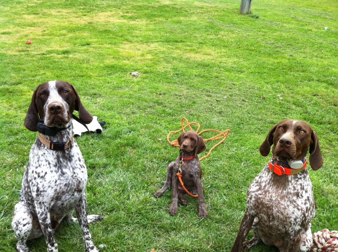 Adventures of a GSP Hunting Dog: Life with German Shorthaired ...