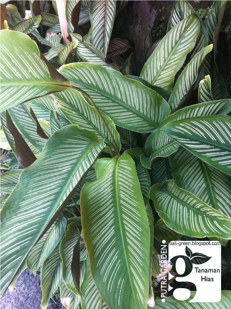 Putra garden - jual tanaman hias termurah di denpasar