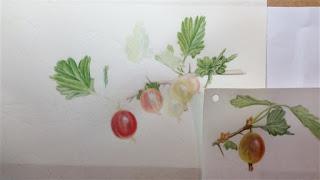watercolour gooseberries on vellum
