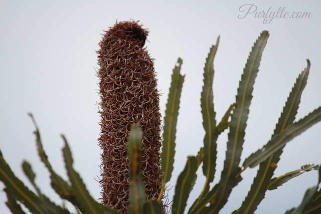 Spent and dried banksia flower - this 'cone' did not fruit and form seeds