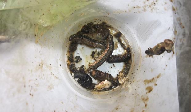 Ulatgrayak merupakan salah satu hama penting dalam budidaya pertanian, baik itu pertanian tanaman pangan, hortikultura, maupun perkebunan. Hama ini bersifat polifag atau dapat menginang di banyak jenis tanaman sehingga agak sulit dikendalikan.  Ulatgrayak diklasifikasikan ke dalam kingdom Animalia; Filum Arthropoda; Kelas Insekta; Ordo Lepidoptera; Famili Noctuidae; Genus  Spodoptera; dan spesies Spodoptera litura F.