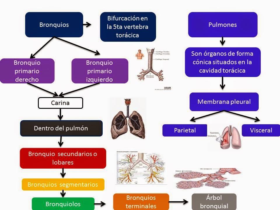 El Blog de Fisiologia de Israel Aramburo Lucas: Anatomia de pulmon ...