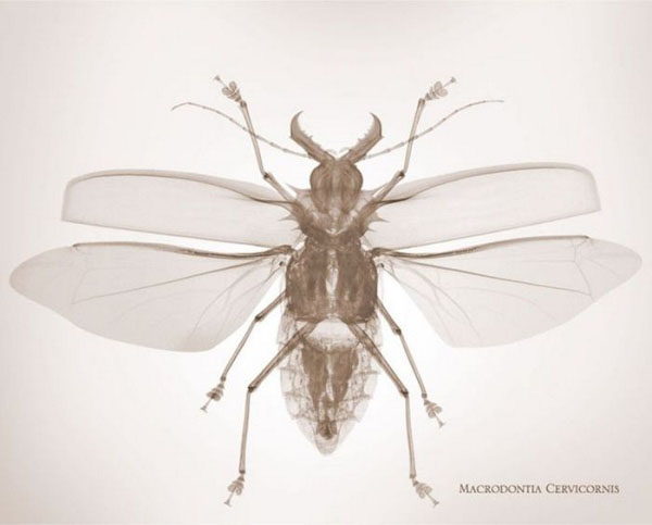 fotografia,rayos x,photographs,x rays,nick Veasey,black,white,interior,insecto,insect,macrodontia cervicornis