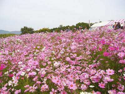 万博公園・自然文化園 花の丘 コスモスフェスタ