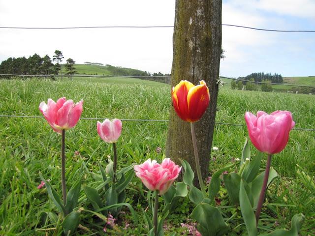 tulips-pink-orange