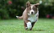 Cachorros de Perros Border Collie