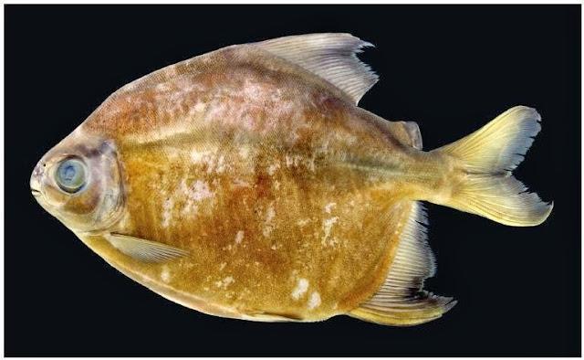Piranha vegetarian