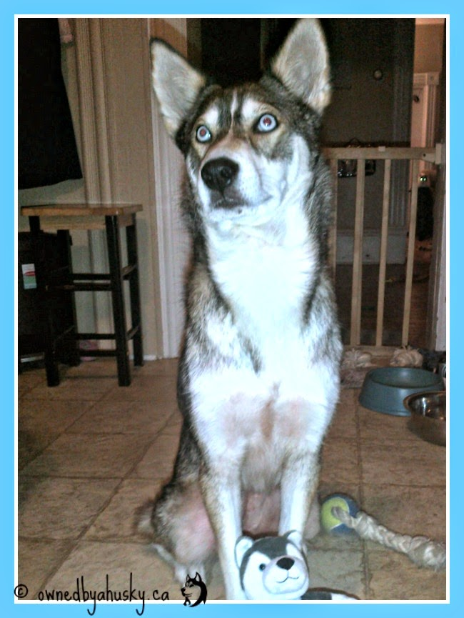 follow my link to purchase your kind egg husky