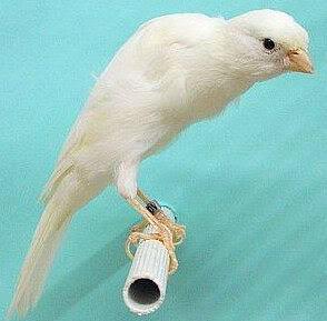 Gambar Burung Kenari Belgian Fancy