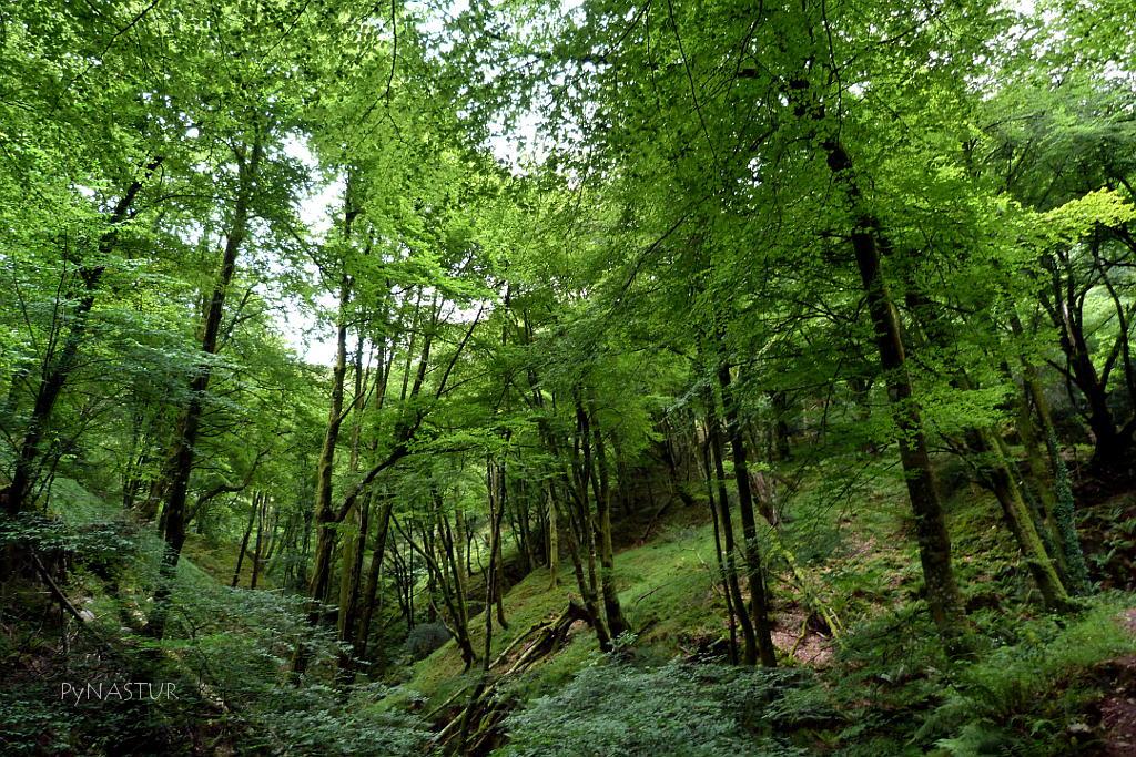 Hayedo de la Biescona - Colunga - Asturias