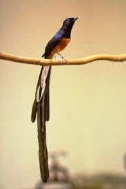 Membedakan Burung Murai Batu Medan, Aceh dan Lampung -