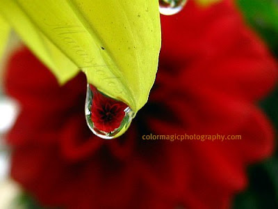 Red Dahlia-reflection in a raindrop-macro photo