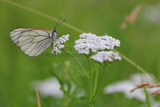gazé photo papillon blanc en été papillon de profil