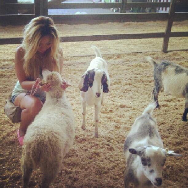 lambs goats