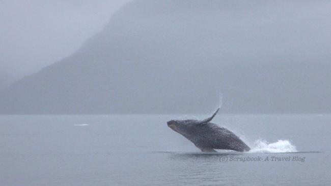 Humpback whale gulf of alaska Kenai Fjords