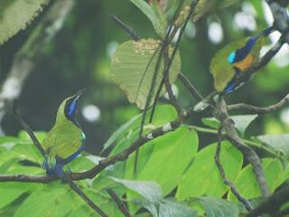 Orange-bellied Leafbird (Chloropsis hardwickii)