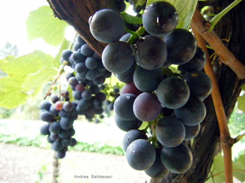 Le avventure della mia fantasia foto dall 39 orto terza for Uva fragola in vaso