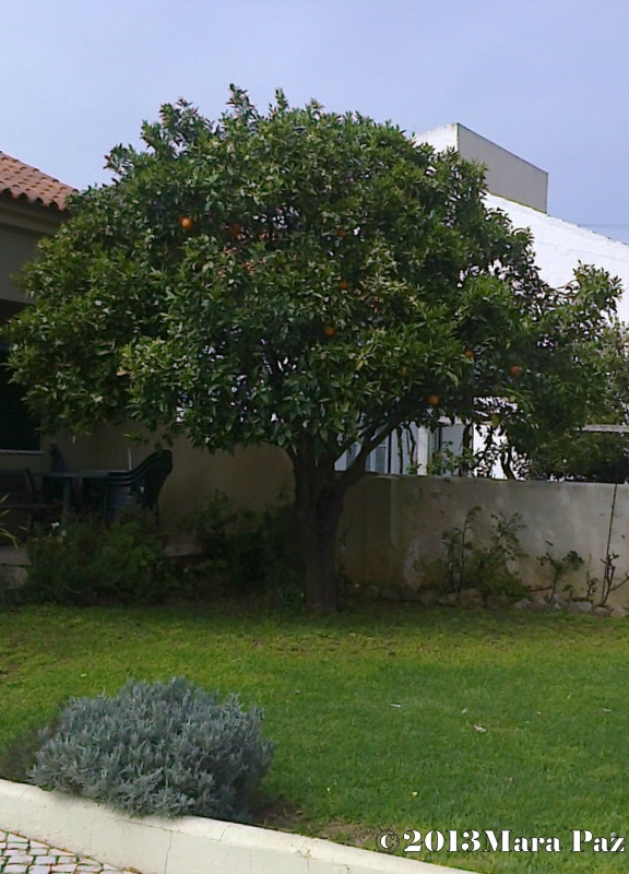 Orange tree after being pruned