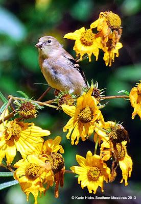 goldfinch feeding on swamp sunflower seeds