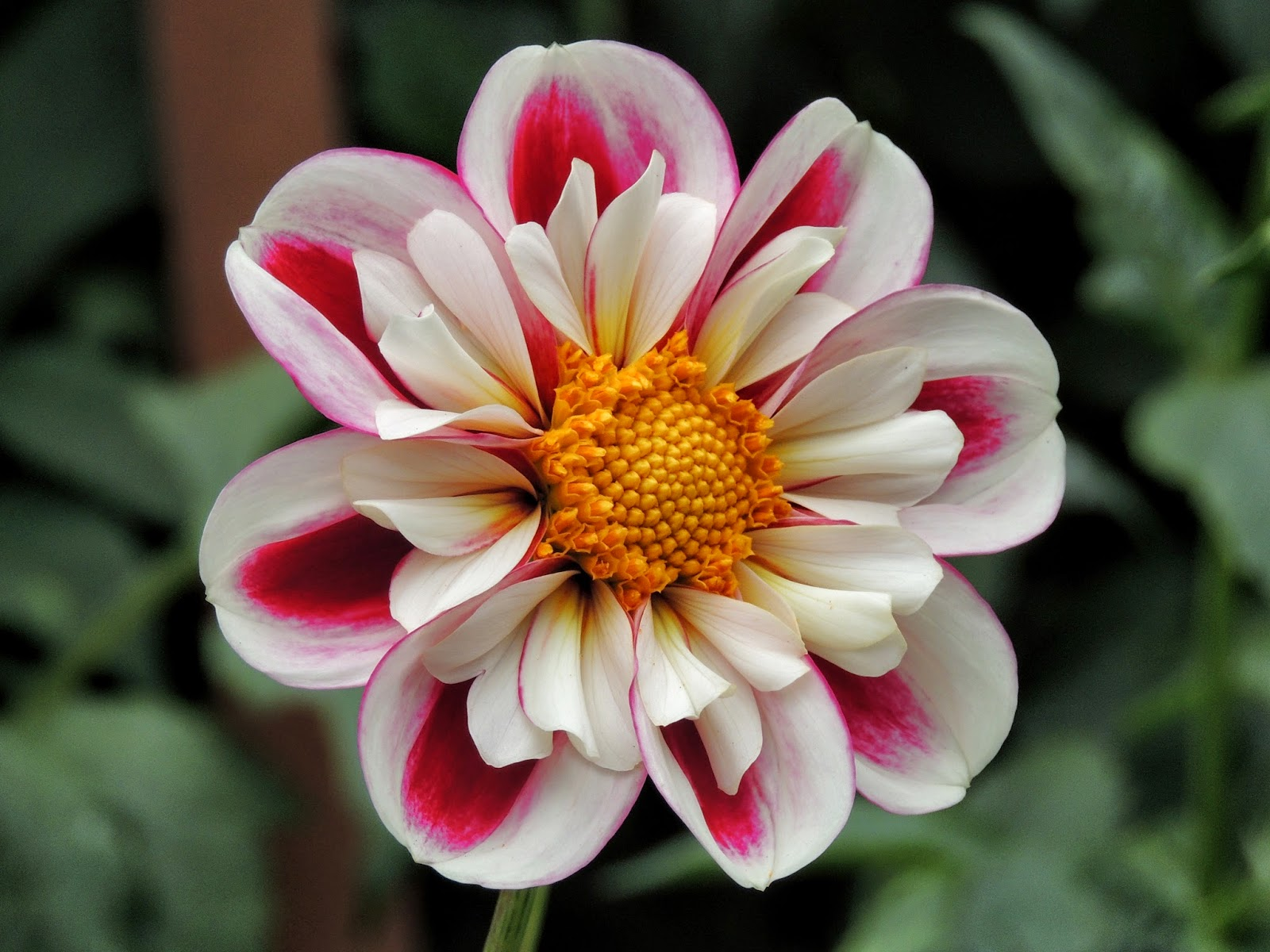 Princess haiku december 2014 this is one of the flowers that i captured in the dahlia garden in golden gate park san francisco this year the garden was a gift from the san francisco izmirmasajfo Image collections