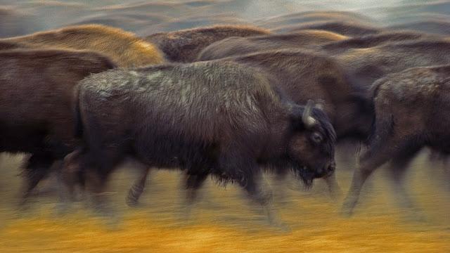 American bison near Fort Pierre, South Dakota (© Jim Brandenburg/Minden Pictures)