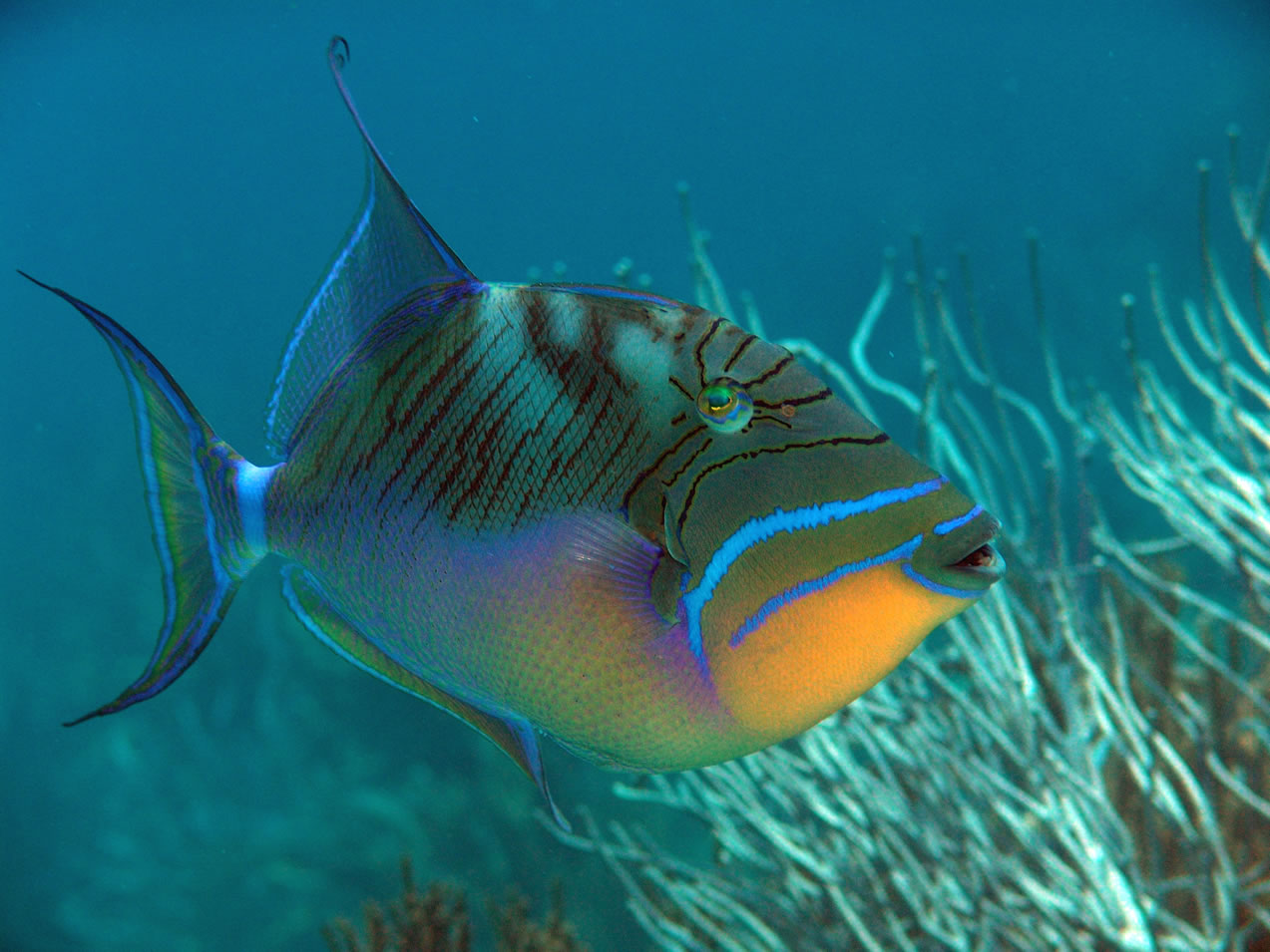 Queen triggerfish fishes for Fish of hawaii