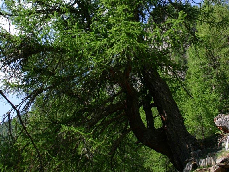 Matteo e ronja nel parco nazionale dello stelvio cosa for Le pigne dei larici