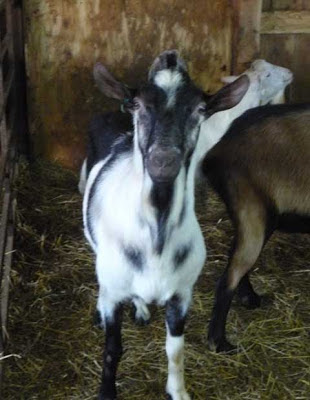 A lovely goat from the Suisse Normande farm