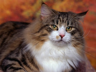 norwegian forest cat breed kitten gato picture pets