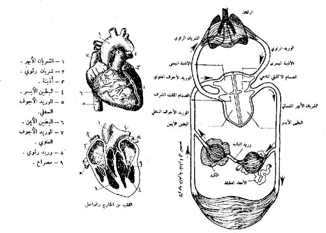الدورة الدموية الصغرو والكبرى عند الانسان