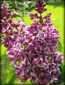 lilac, mauve, two-tone lilac, spring flowers, Canadian flowers