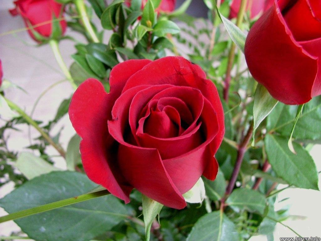 Rose Flowers Wallpaper 3d