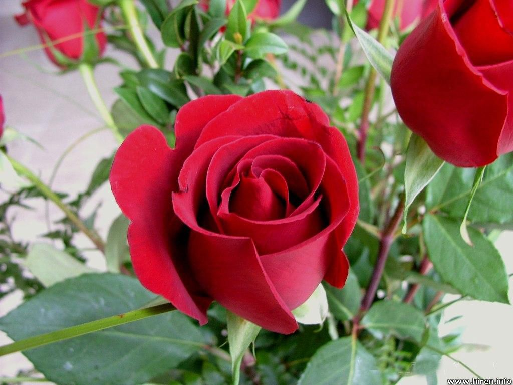 Beauty flower beautiful red roses flowers pictures beautiful red rose flowers pictures izmirmasajfo