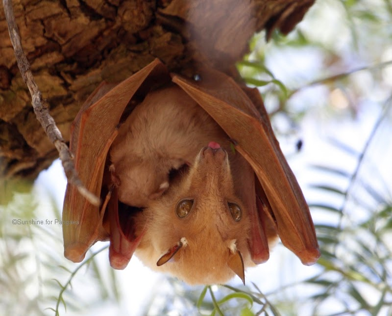 Epauletted Fruit Bat in Ethiopia female with a young bat