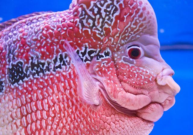 Flowerhorn the hybrid cichlids for Flower horn fish