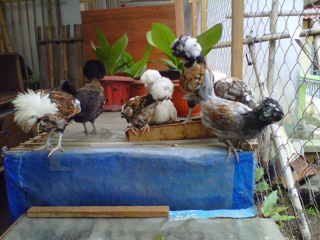 jual anakan ayam poland