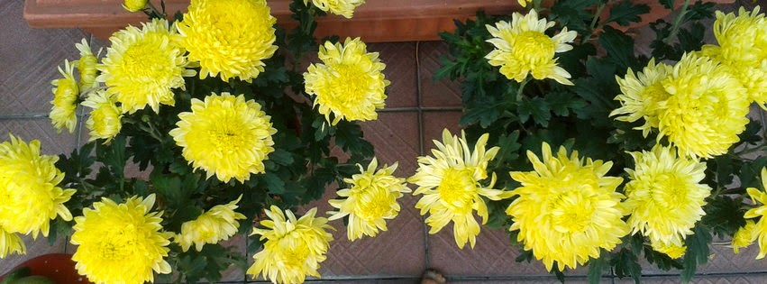 Facebook Cover Image Of Chrysanthemum Flowers