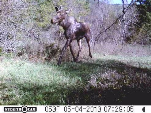 Moose 2013